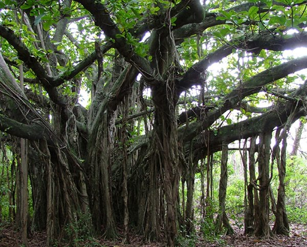 Kahuku Student Responsible for Cutting Down Banyan Tree