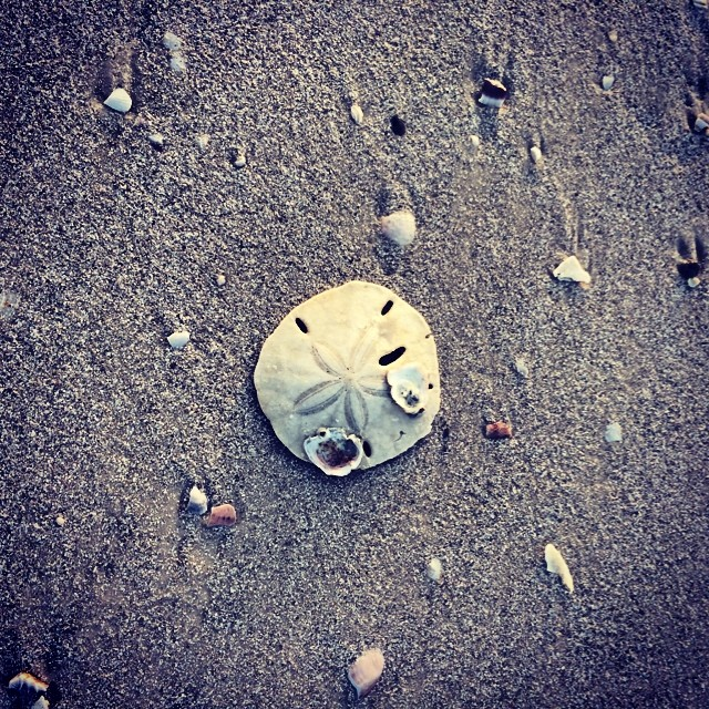 Sand Dollar. It's your lucky day. #sanddollar #beach #gobeyond