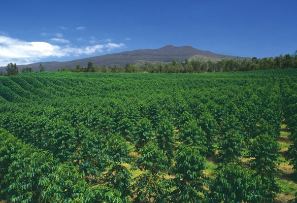 Kona Coffee Field
