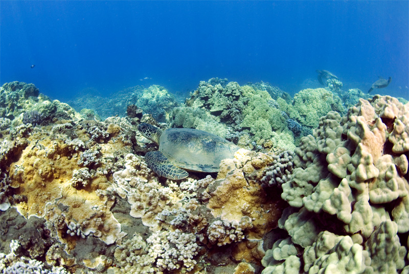 Olawalu-Reef-Turtle Photo by Animal Tracks on Flickr