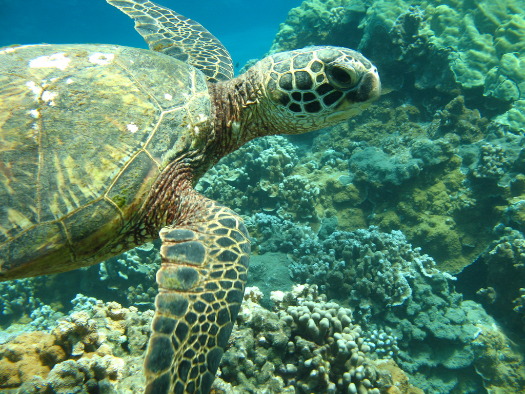 Olowalu-Reef-Turtle-2-Photo by Kelley Kuhlman on Flickr