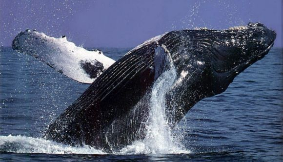 Humpback Whale Season is Almost Here