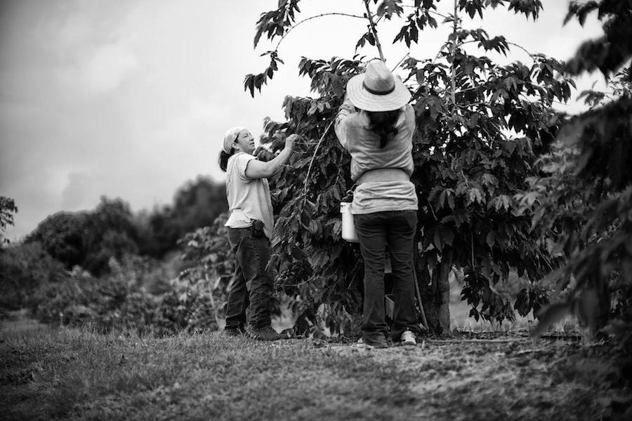 The Rich and Royal History of Kona Coffee